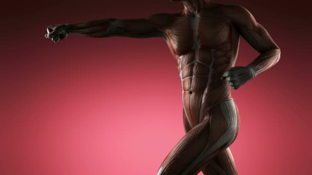 abdominis muscle stock videos, royalty free abdominis muscle, Muscles
