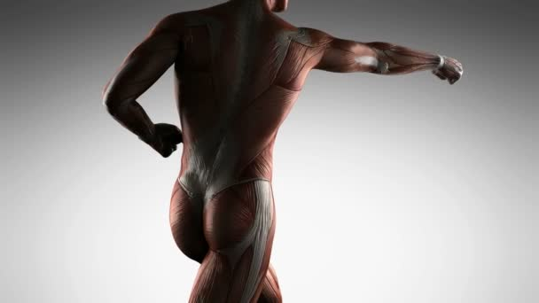 human muscle anatomy — stock video © icetray #128439772, Muscles
