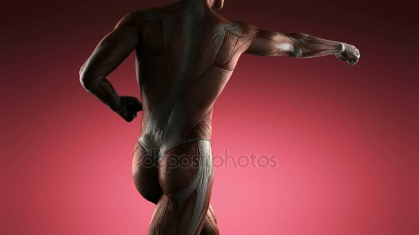 human muscle anatomy — stock video © icetray #130809240, Muscles