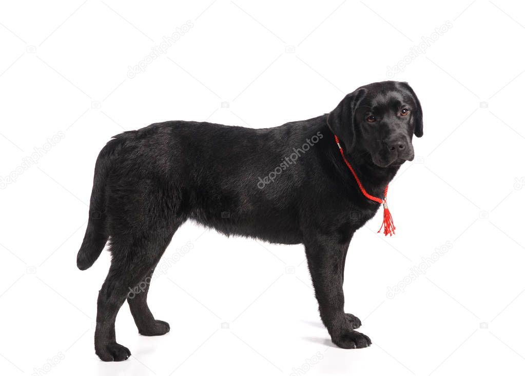 Black golden retriever dog