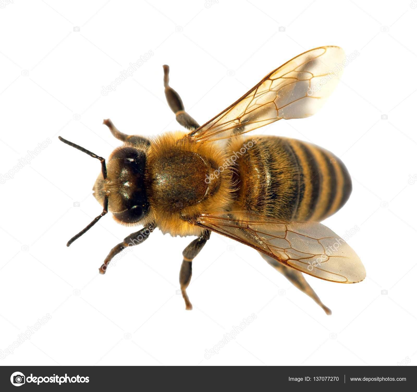 ミツバチの画像 p1_27