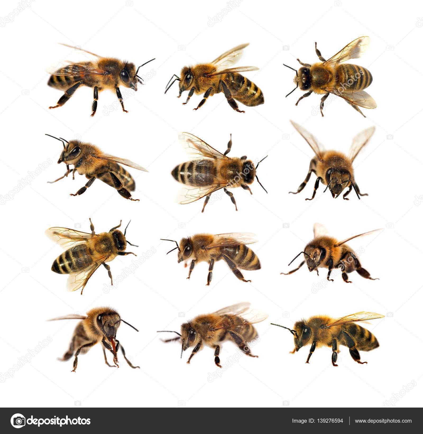ミツバチの画像 p1_33