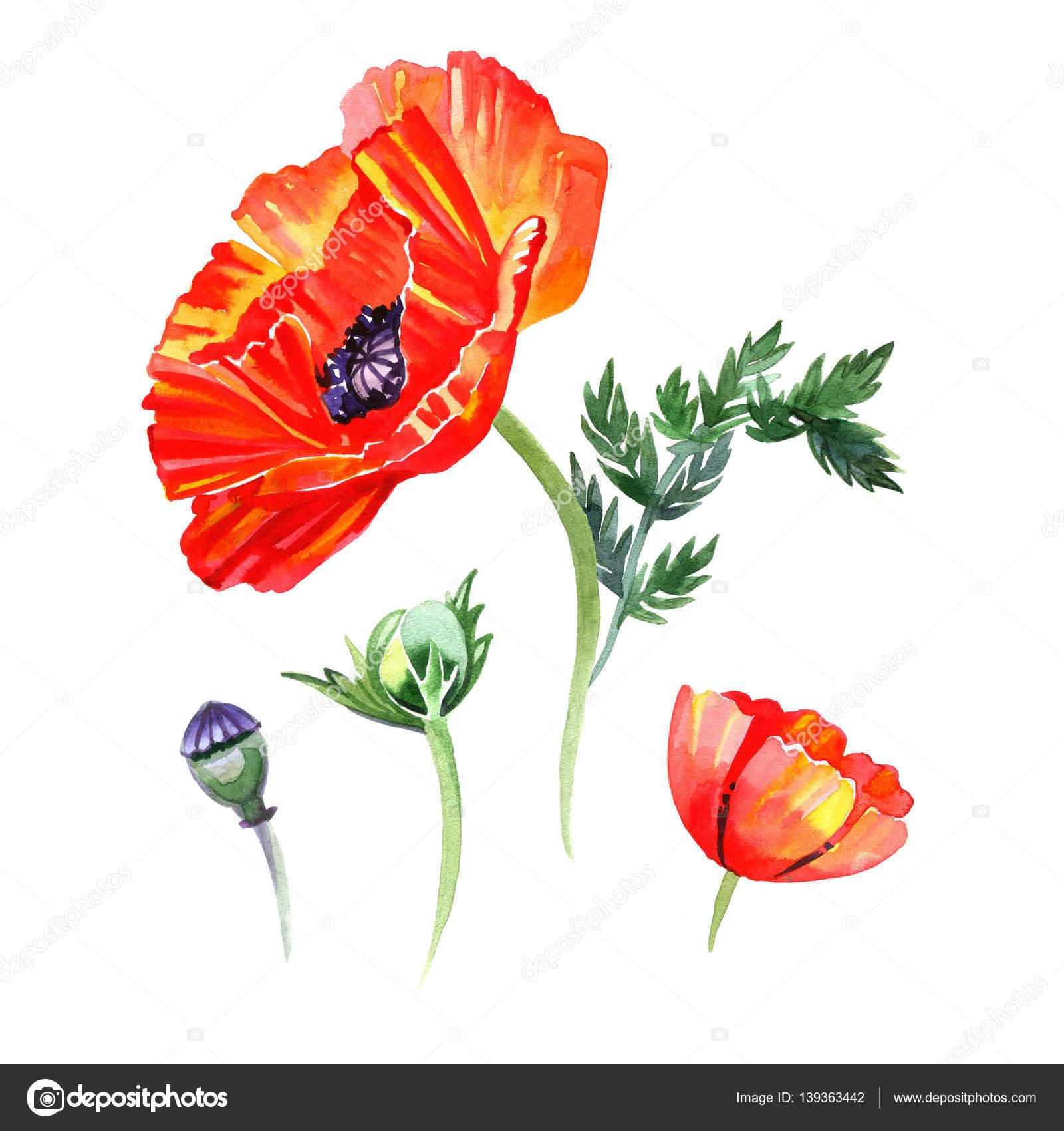 ポピーの花とつぼみのイラストの水彩セットです。手は、白い