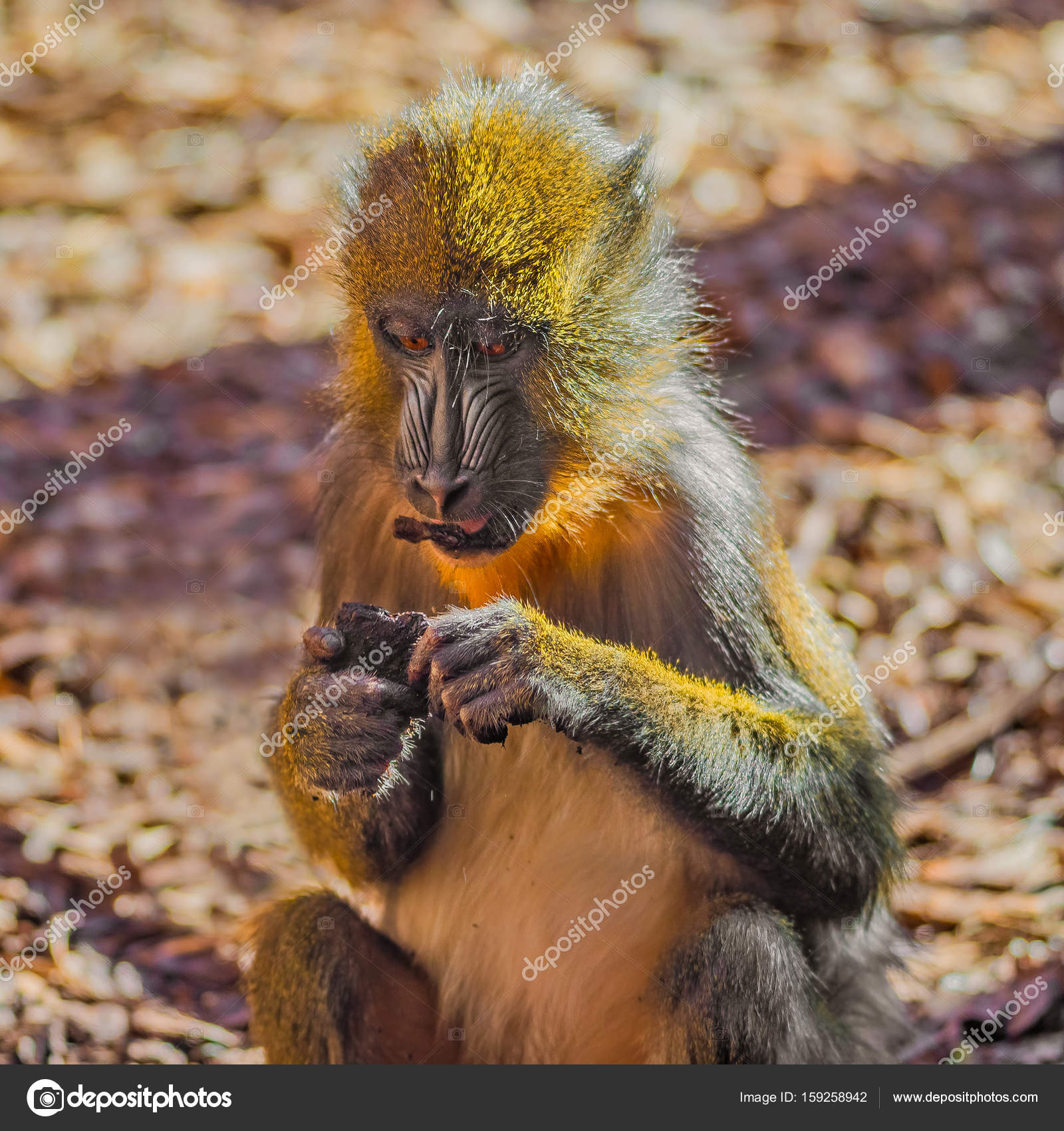 African mandrill