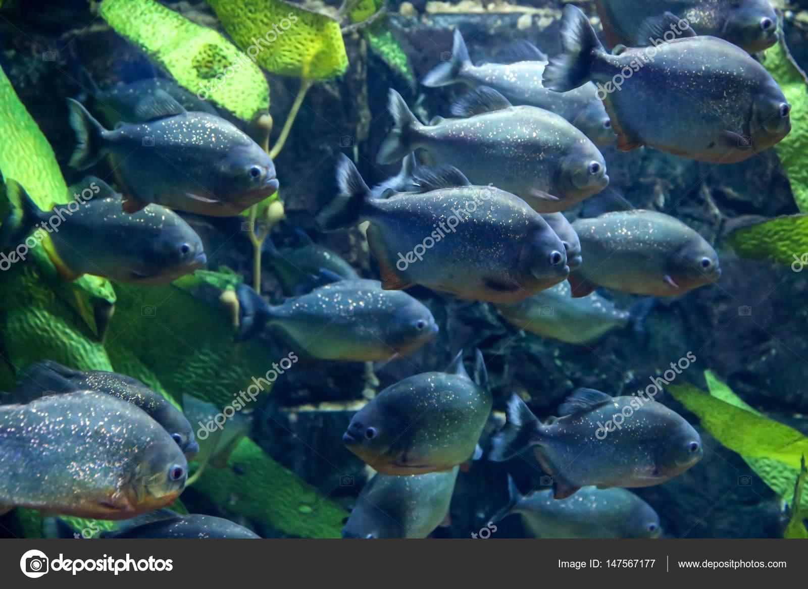Freshwater aquarium fish piranha - Exotic Piranha Fish In Aquarium Stock Photo 147567177