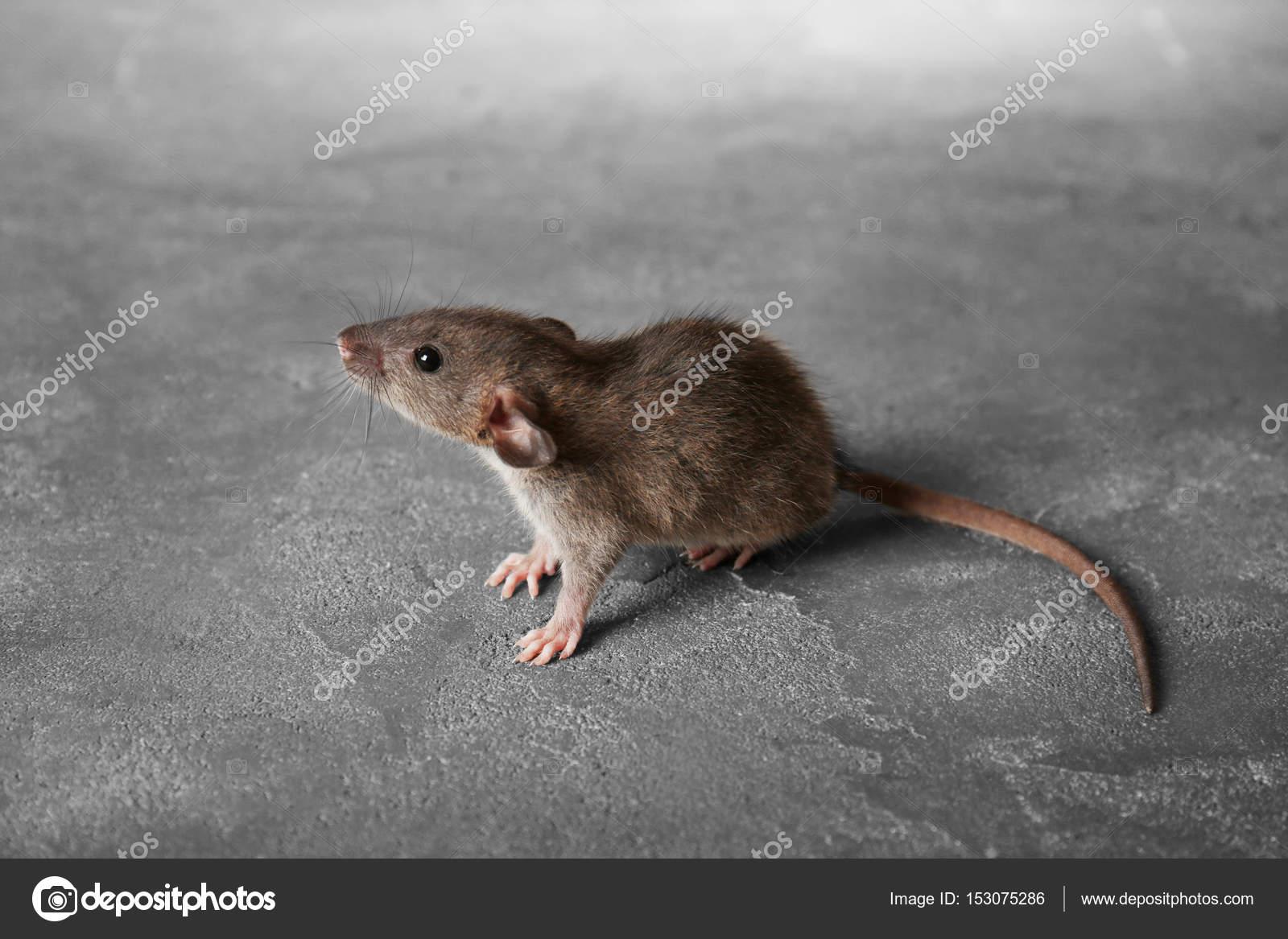 ネズミの画像 p1_31