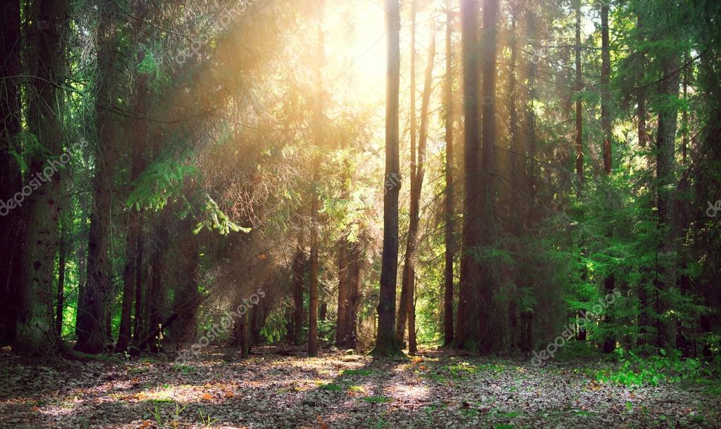 Фотообои Мисти старый лес с лучами солнца