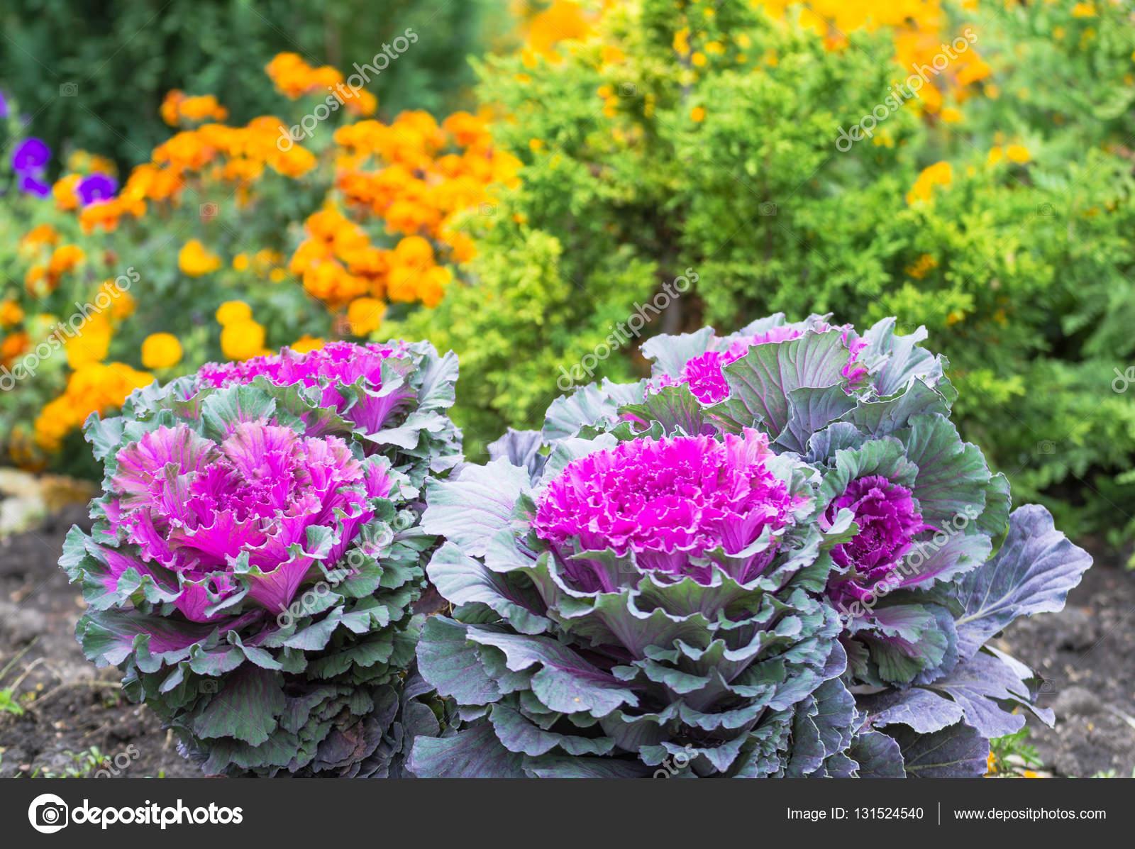 Декоративная капуста цветы фото
