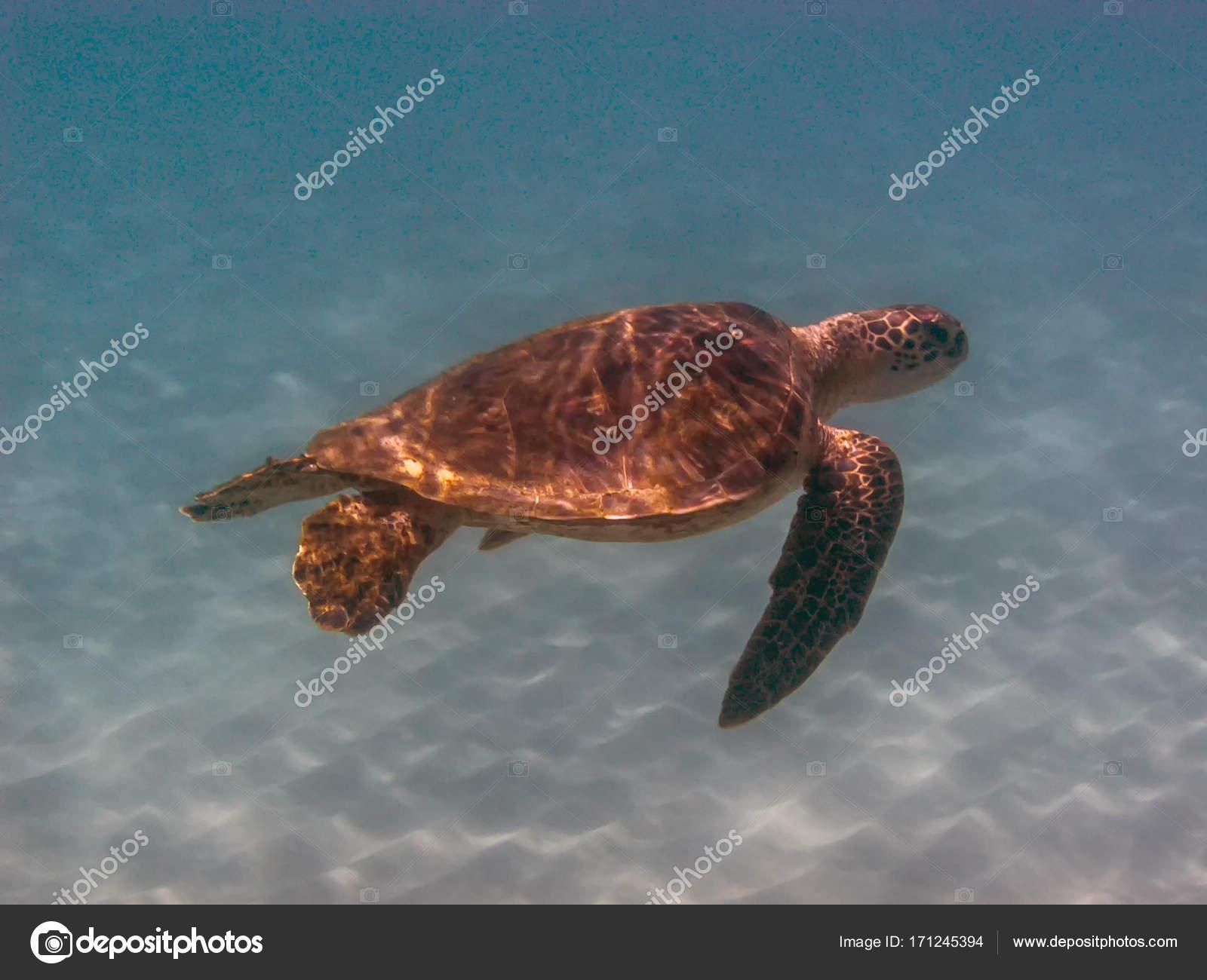 アオウミガメの画像 p1_5