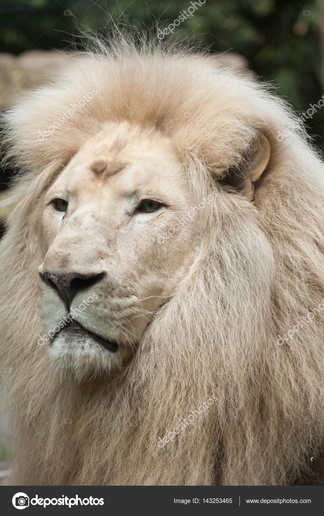 белые львы африки видео