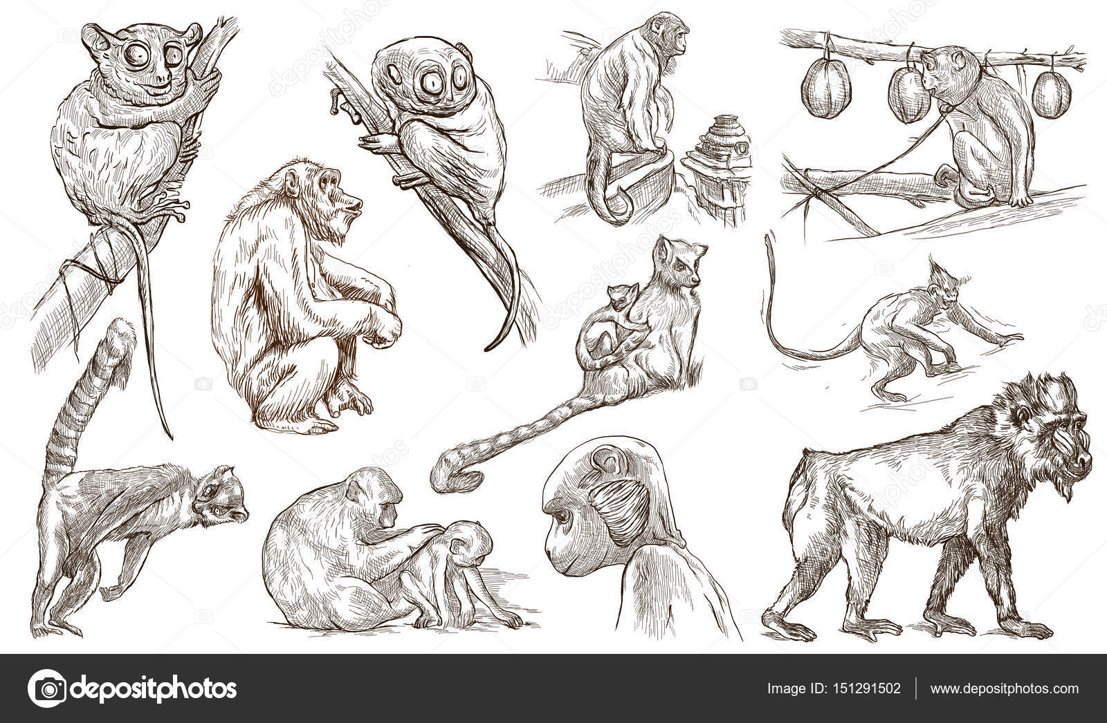 猴子和猿.手绘全 s