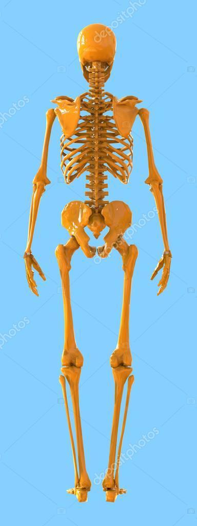 skeleton rear view. plastic layout of the human skeleton on blue, Skeleton