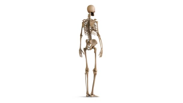 the layout of the human skeleton. skeleton rotating on white, Muscles