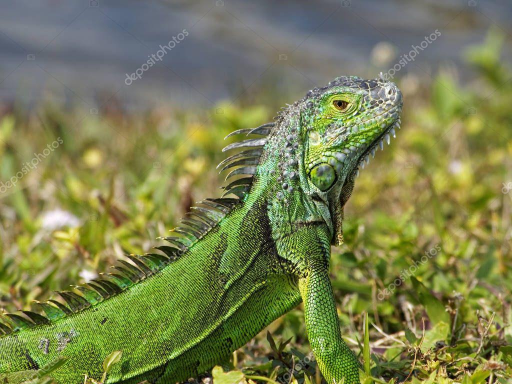 Animal protein and green iguanas  Anapsid