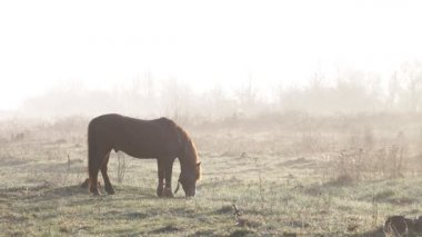 The horse is grazing in the meadow at dawn in the spring