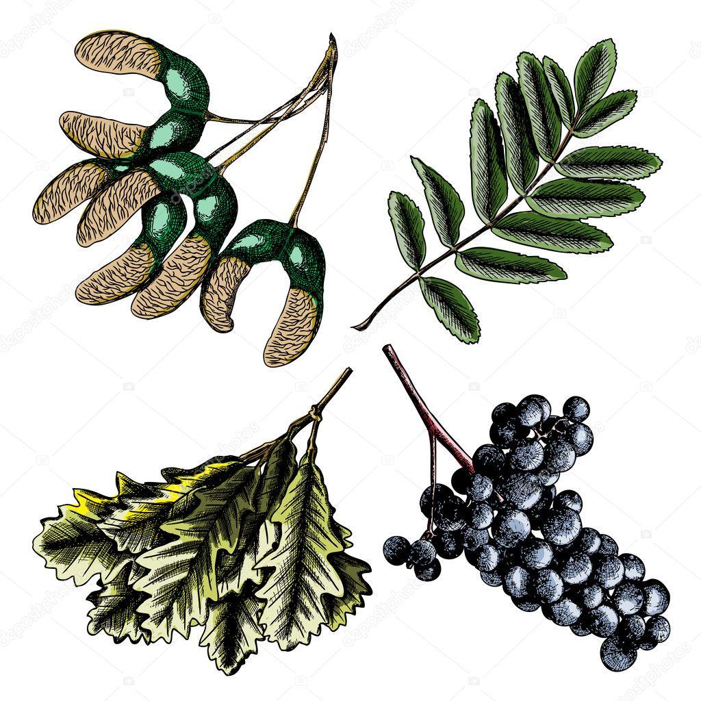 设置,水彩画画和手拔染墨质朴枫树种子.绘图的葡萄或葡萄酒的元素.