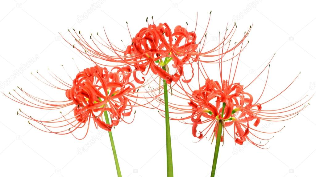 Red spider lily drawing