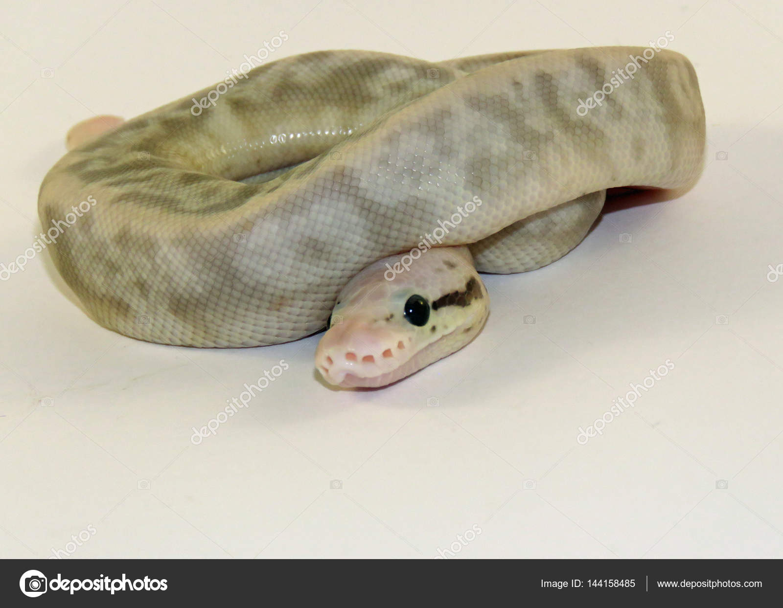 Baby python snake