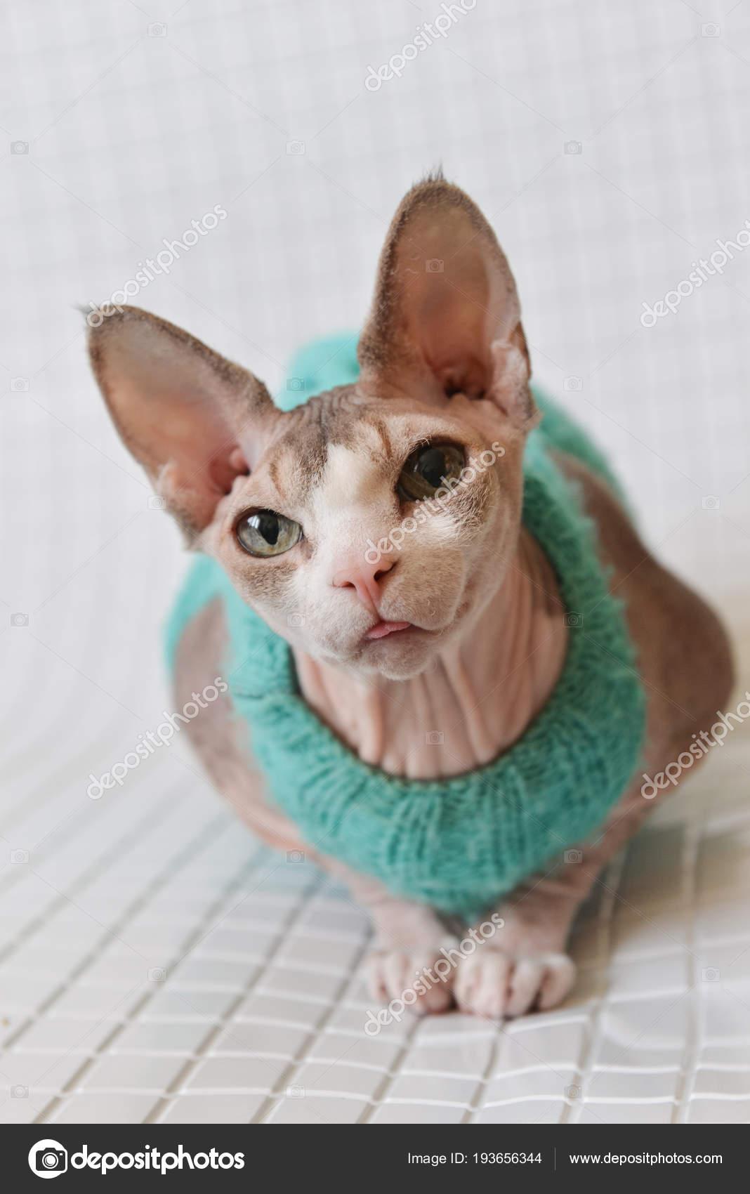 Голые кошки породы канадский сфинкс (27 фото)