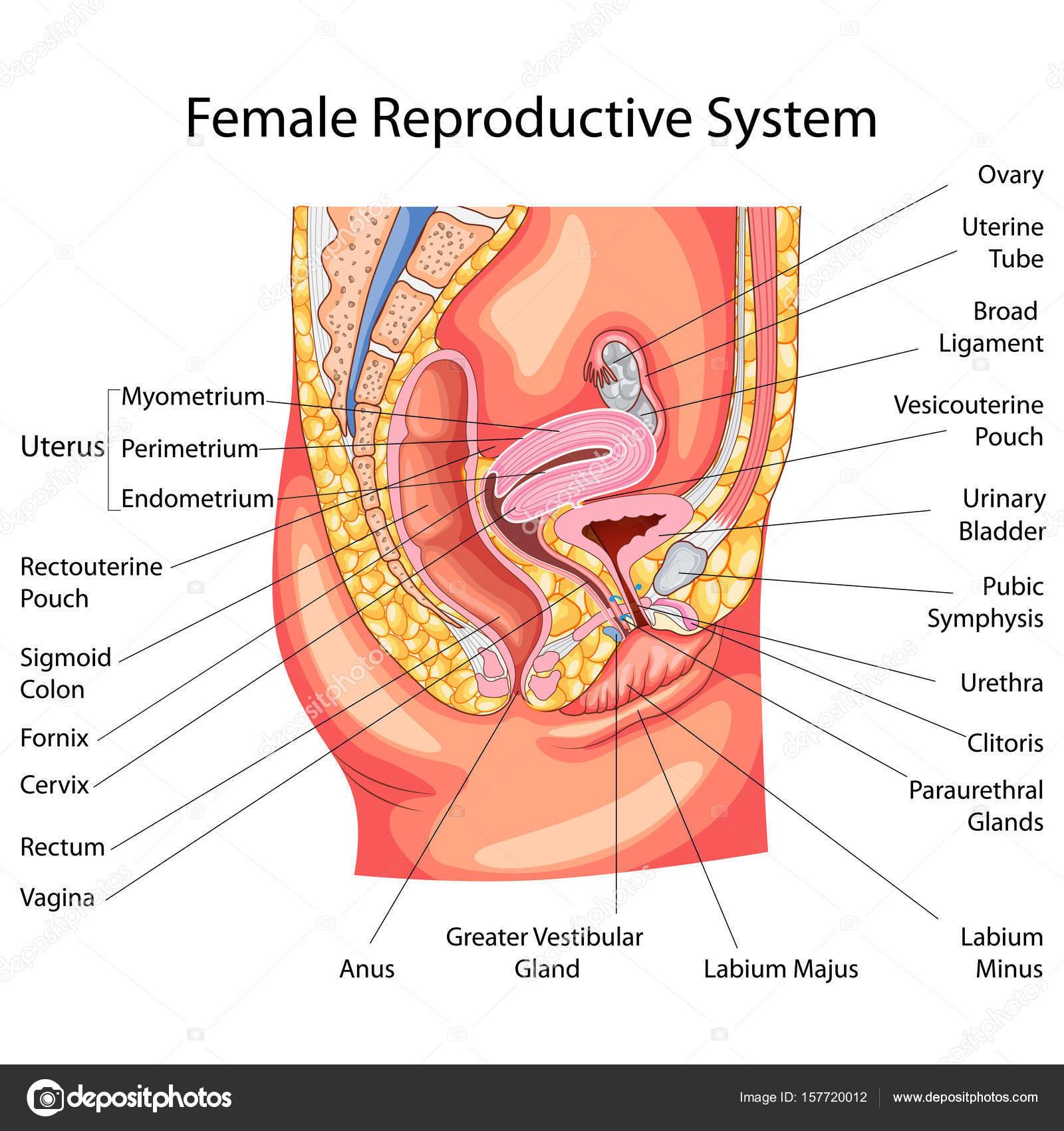 Female reproductive organ diagram