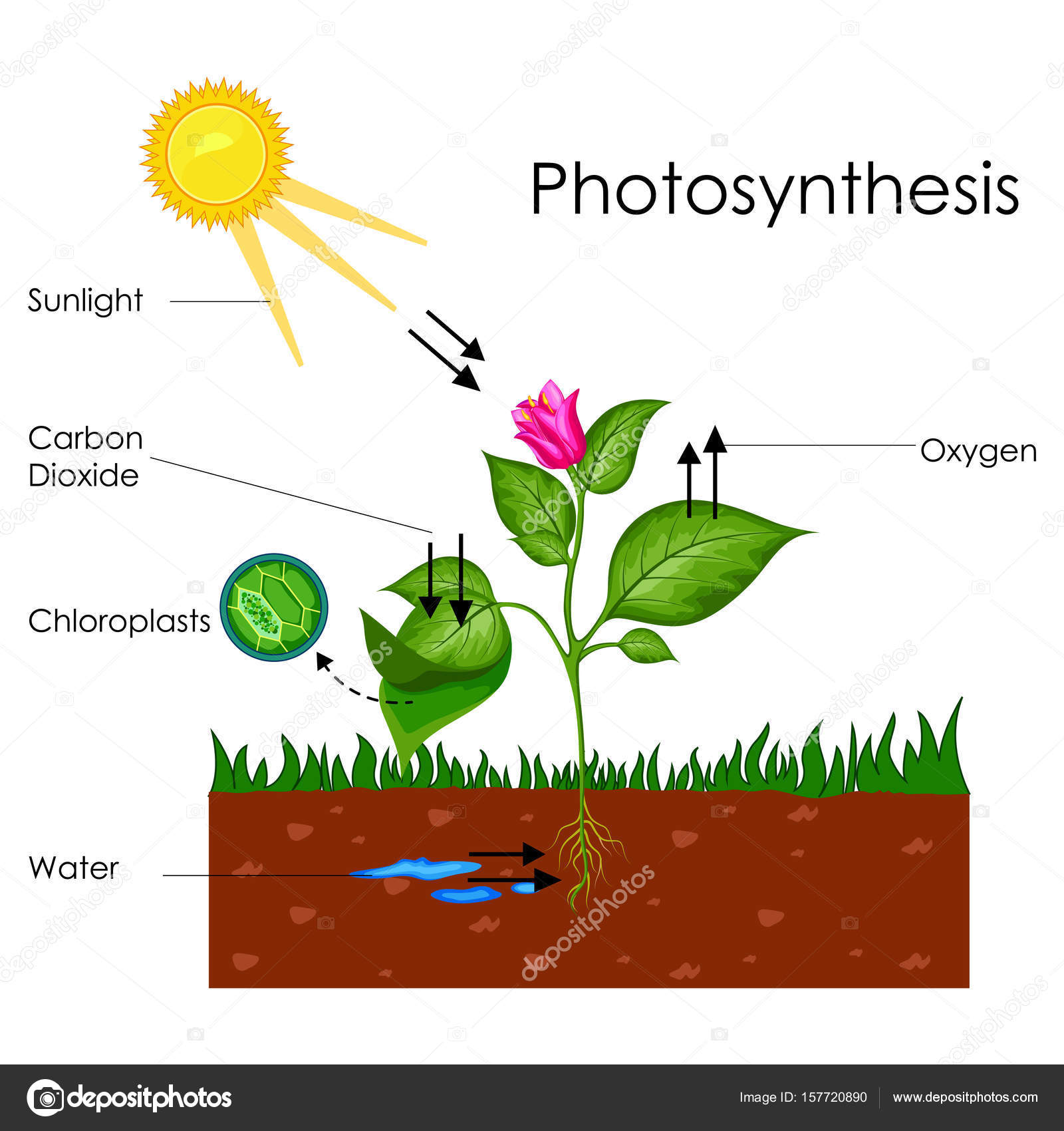 For photosynthesis oxygen is obtained from the breakdown of BBC - GCSE Bitesize Science - Food Production
