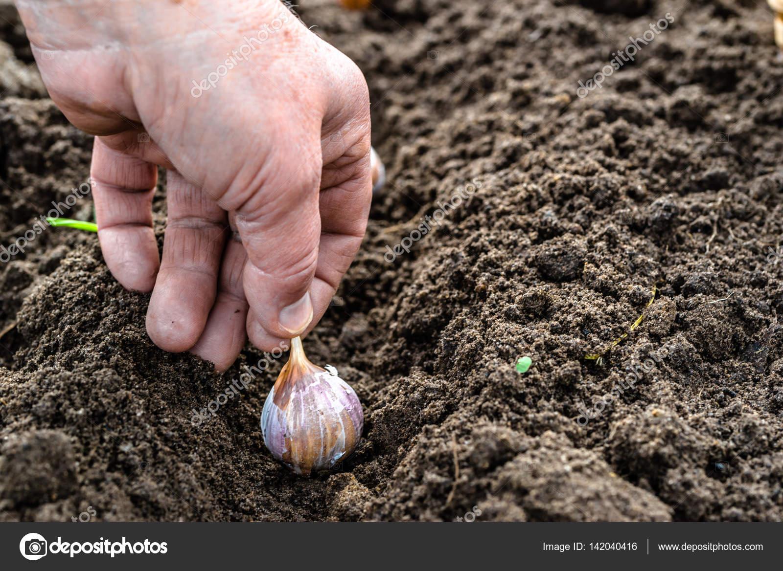 Сажаем чеснок - Магия растений 96