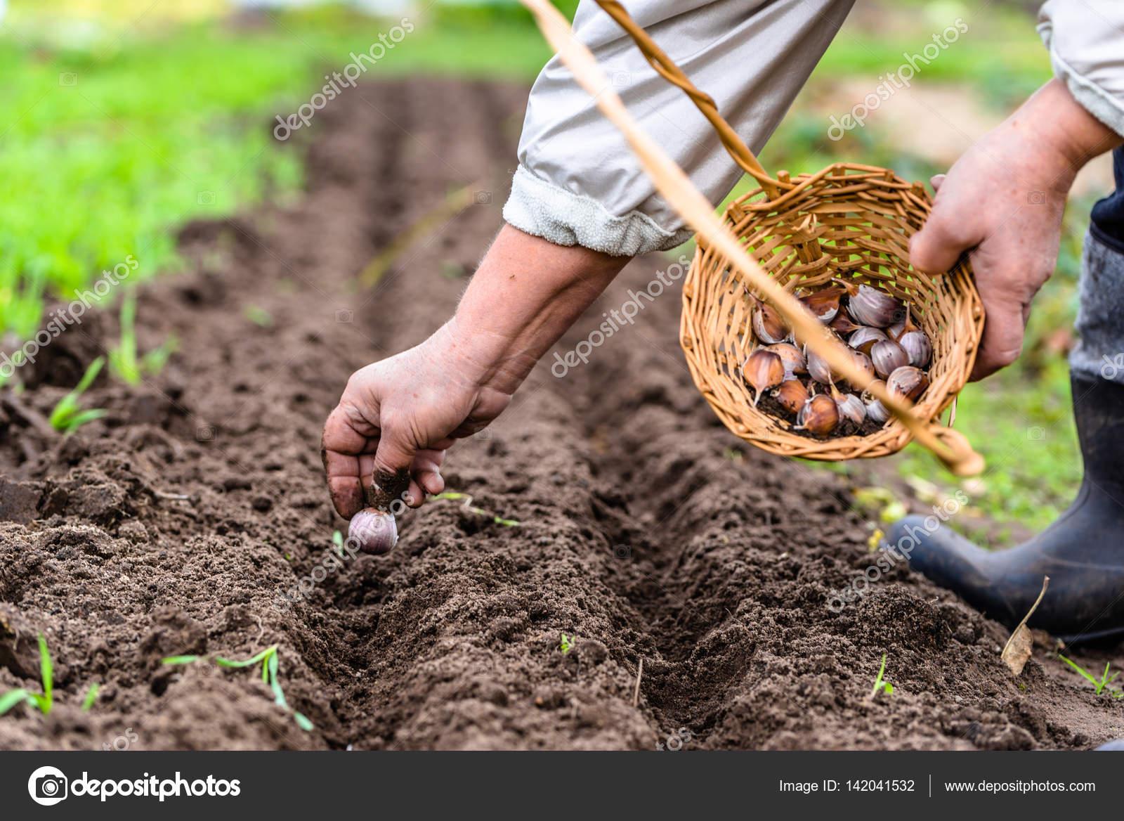 Календарь посадки чеснока: благоприятные дни, лунный календарь 58