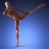 Anatomie lidského svalu