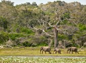 Elephants family in Yala National Park