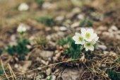 Fiori di primavera, denominati erba sonno. Vintage cross processo effetto filtro aggiunto