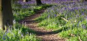 Sunrise path through bluebell woods