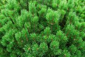 Young firs, needles