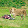 Постер, плакат: Lioness feeding after a kill