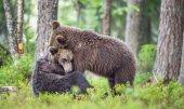 Mláďata z medvědů hnědých