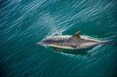 Delfíni, koupání v oceánu