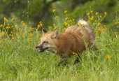 Red fox running in green grass and  yellow flowers on spring day