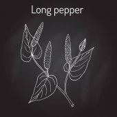 Ájurvédské rostliny dlouhého pepře Piper longum, pippali