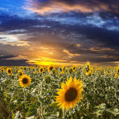 Field sunflowers on a background beautiful sunset