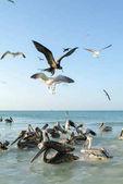 Különböző madarak repülés és úszás a Holbox beach