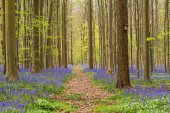 Hallerbos forest in the spring with english bluebells and a path in the middle