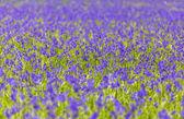 Monochoria vaginalis purple flowers blooming in swamp