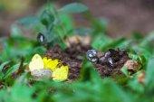 Yellow butterflies eat the minerals in the salt marsh.