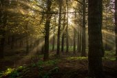 Visible sun rays in a misty forest