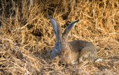 Funny bunny with big ears sits in hay