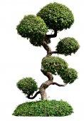 Bonsai stromy na bílém pozadí