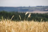 Beautiful view of the field and the blue sky on a sunny day. Beautiful view of the field a on a sunny day. Wheat - Close up of a wheat field.Golden Ripe Wheat Field, Sunny Day, Agricultural Landscape, Growing Wheat, Cultivate Crop,