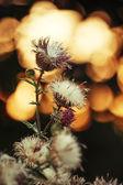 Pusztai orosz thistle növény Silybum marianum