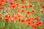 Field of flowering red poppies