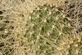 Chiuda in su delle sezioni di cactus spinosi fico dIndia