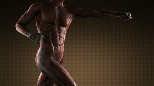 male muscular system stock videos, royalty free male muscular, Muscles